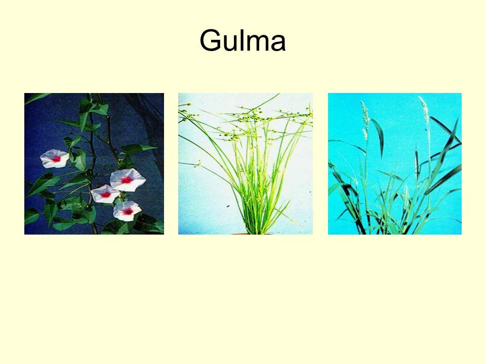 Gulma