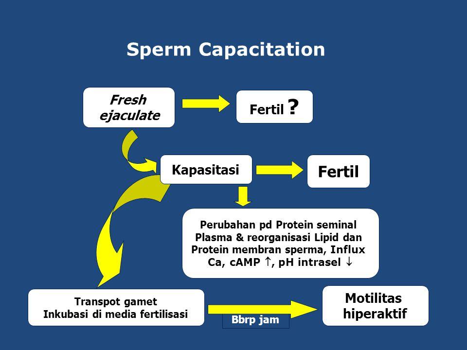 Sperm Capacitation Fertil Fresh Fertil ejaculate Kapasitasi