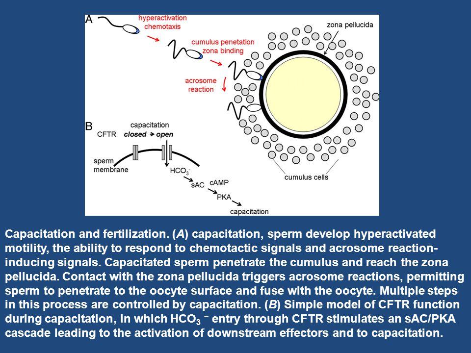 Capacitation and fertilization