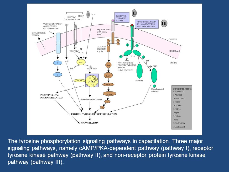The tyrosine phosphorylation signaling pathways in capacitation