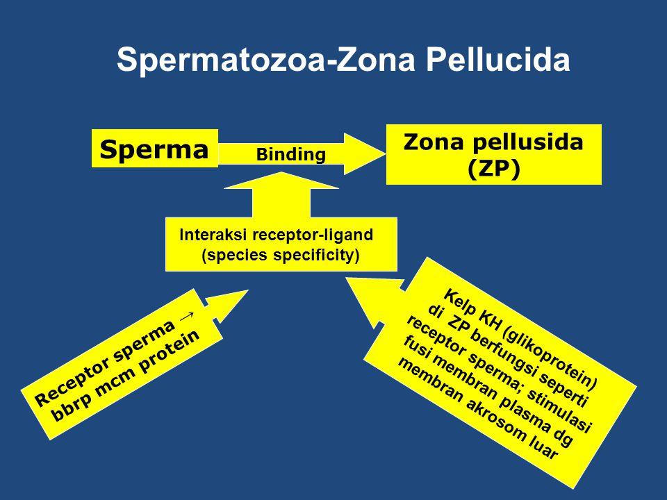 Spermatozoa-Zona Pellucida
