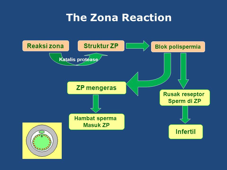 The Zona Reaction Reaksi zona Struktur ZP ZP mengeras Infertil