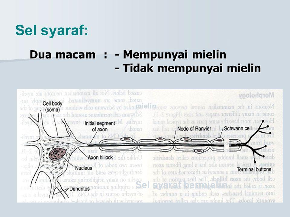 Sel syaraf: Dua macam : - Mempunyai mielin - Tidak mempunyai mielin