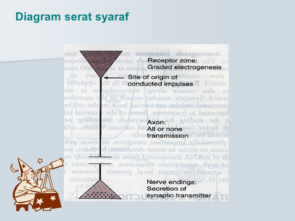 Diagram serat syaraf