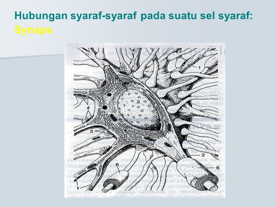 Hubungan syaraf-syaraf pada suatu sel syaraf: