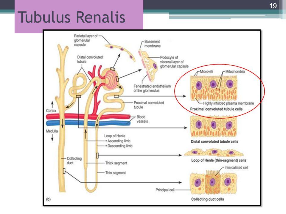 Tubulus Renalis