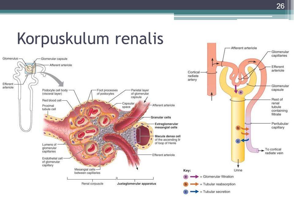 Korpuskulum renalis