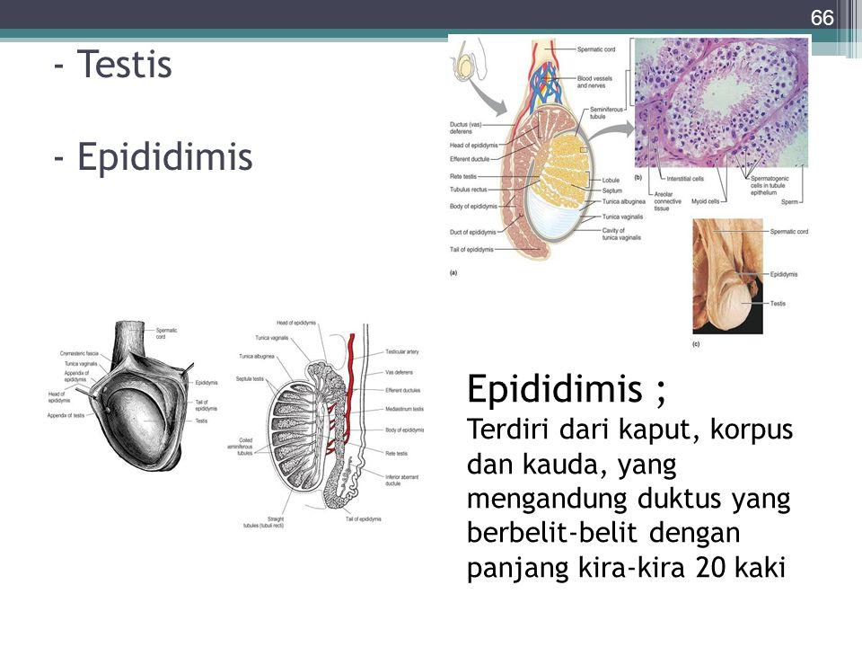 - Testis - Epididimis Epididimis ; Terdiri dari kaput, korpus dan kauda, yang mengandung duktus yang berbelit-belit dengan panjang kira-kira 20 kaki.