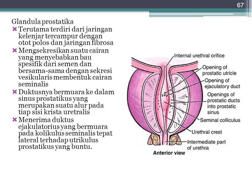 Glandula prostatika Terutama terdiri dari jaringan kelenjar tercampur dengan otot polos dan jaringan fibrosa.