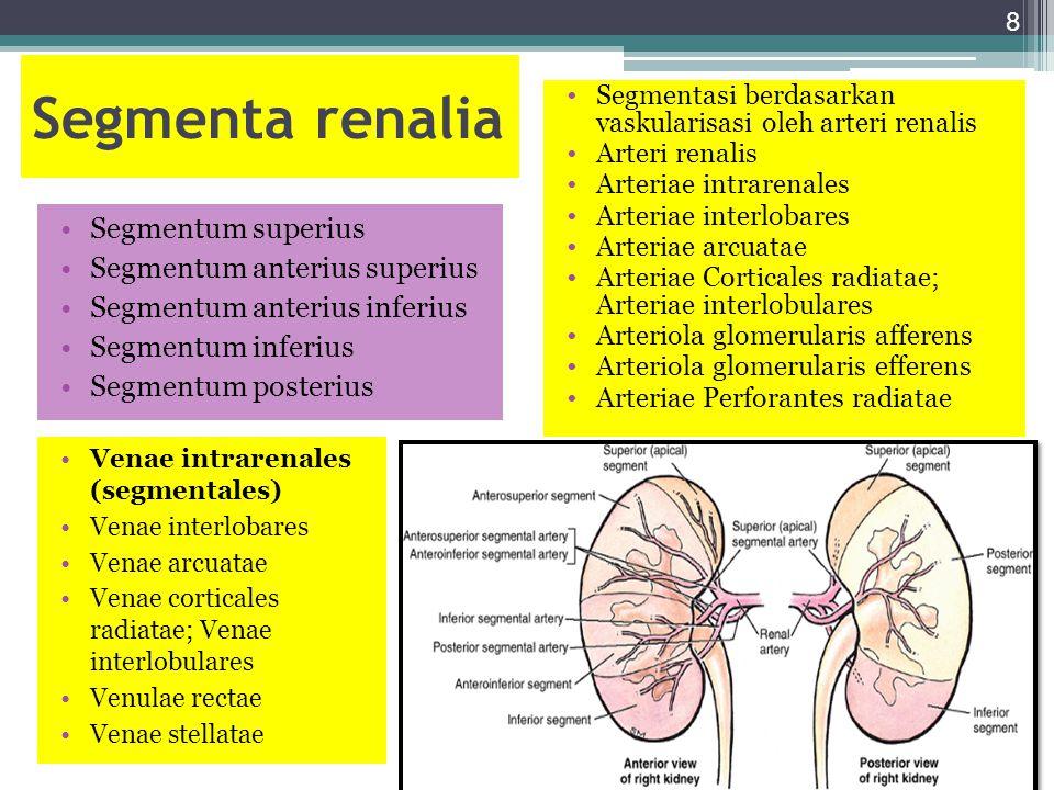Segmenta renalia Segmentum superius Segmentum anterius superius