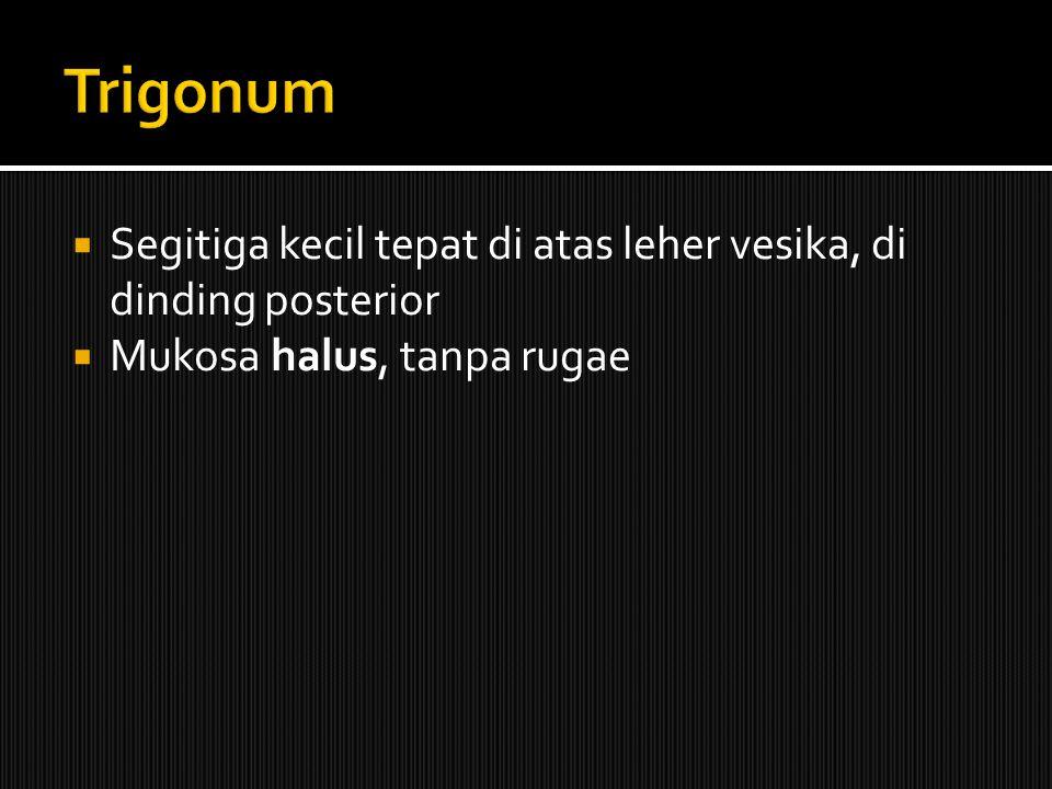 Trigonum Segitiga kecil tepat di atas leher vesika, di dinding posterior Mukosa halus, tanpa rugae