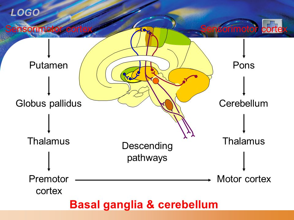 Basal ganglia & cerebellum
