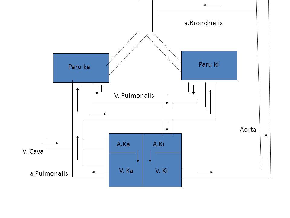 a.Bronchialis Paru ki Paru ka V. Pulmonalis Aorta A.Ka A.Ki V. Cava V. Ka V. Ki a.Pulmonalis