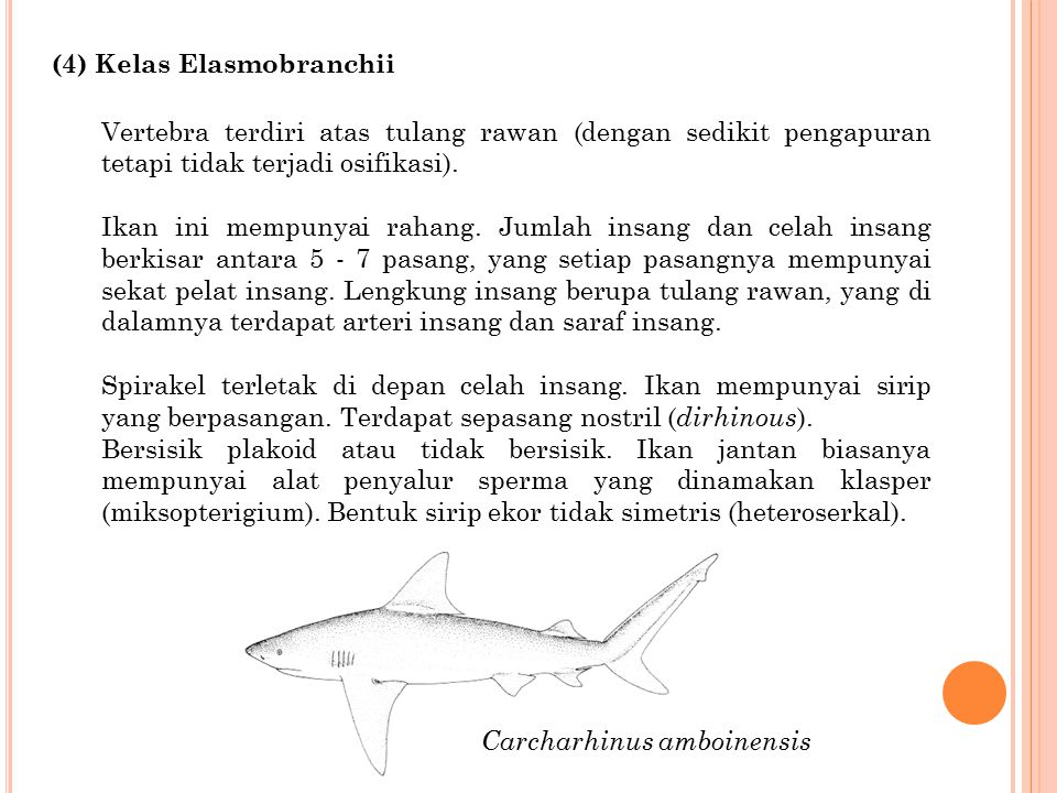 (4) Kelas Elasmobranchii