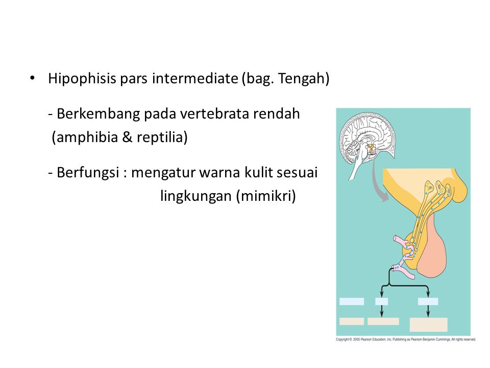 Hipophisis pars intermediate (bag. Tengah)