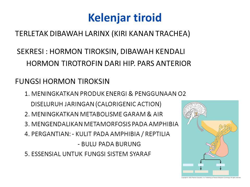 Kelenjar tiroid TERLETAK DIBAWAH LARINX (KIRI KANAN TRACHEA)