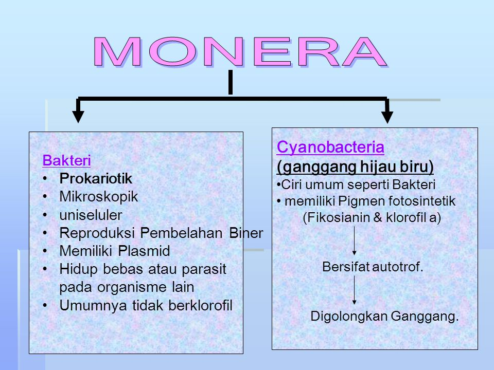 MONERA Cyanobacteria (ganggang hijau biru) Bakteri Prokariotik