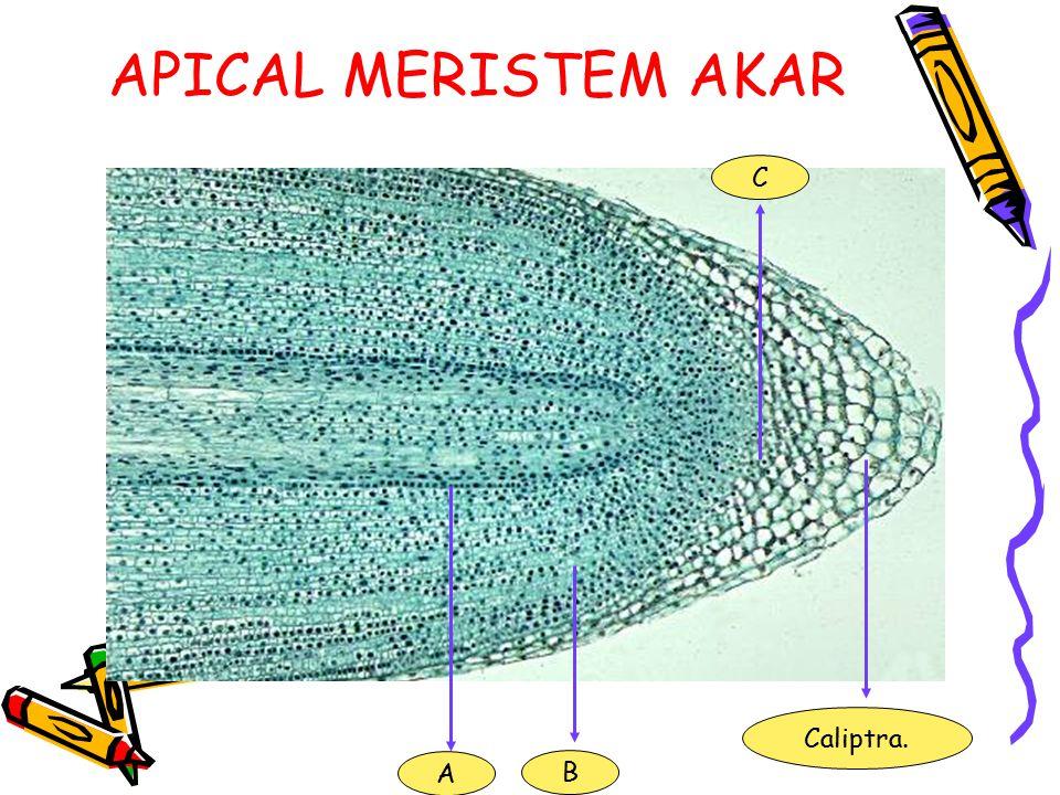 APICAL MERISTEM AKAR C Caliptra. A B