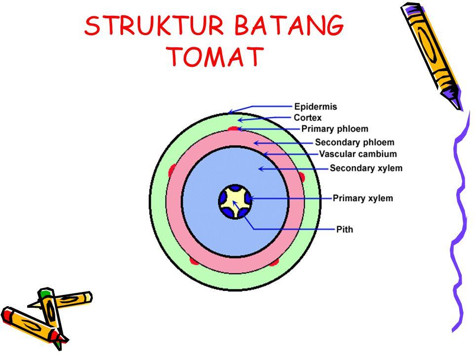 STRUKTUR BATANG TOMAT