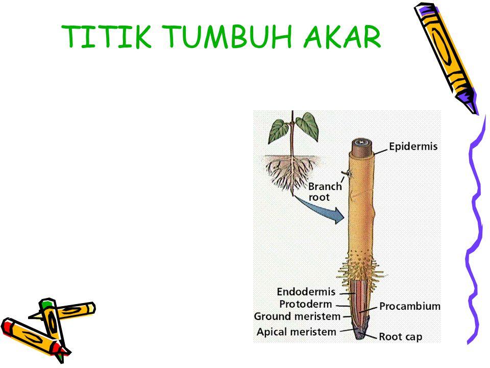 TITIK TUMBUH AKAR