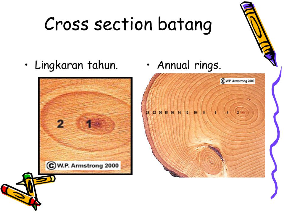 Cross section batang Lingkaran tahun. Annual rings.