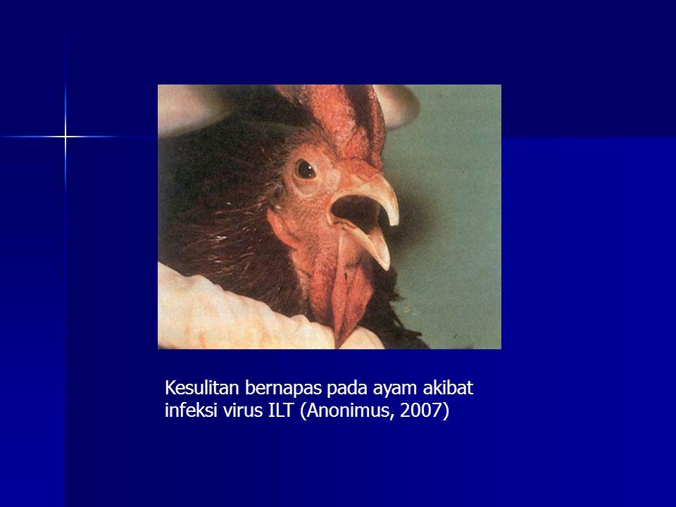Kesulitan bernapas pada ayam akibat infeksi virus ILT (Anonimus, 2007)