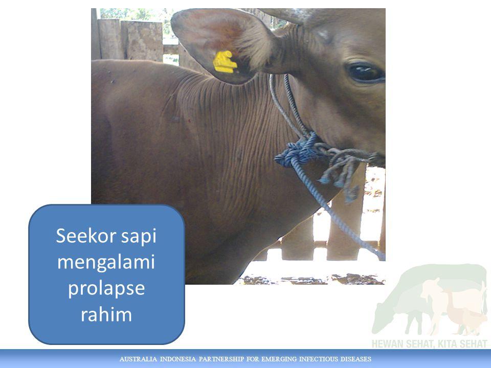 Seekor sapi mengalami prolapse rahim