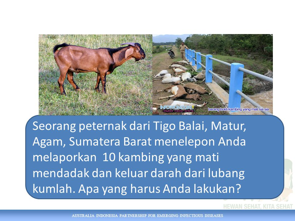 Seorang peternak dari Tigo Balai, Matur, Agam, Sumatera Barat menelepon Anda melaporkan 10 kambing yang mati mendadak dan keluar darah dari lubang kumlah. Apa yang harus Anda lakukan