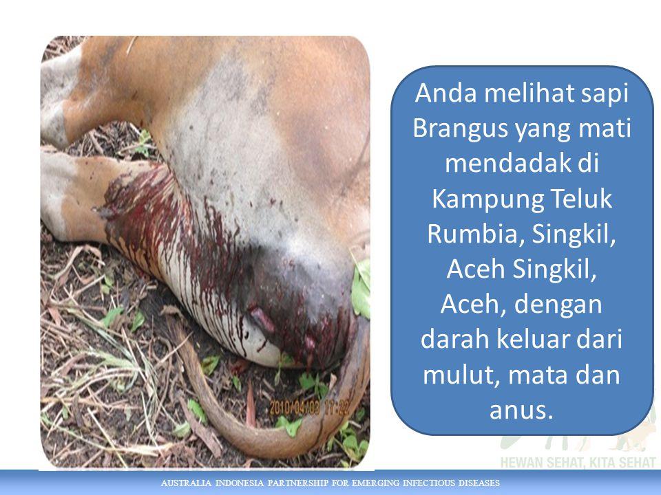 Anda melihat sapi Brangus yang mati mendadak di Kampung Teluk Rumbia, Singkil, Aceh Singkil, Aceh, dengan darah keluar dari mulut, mata dan anus.