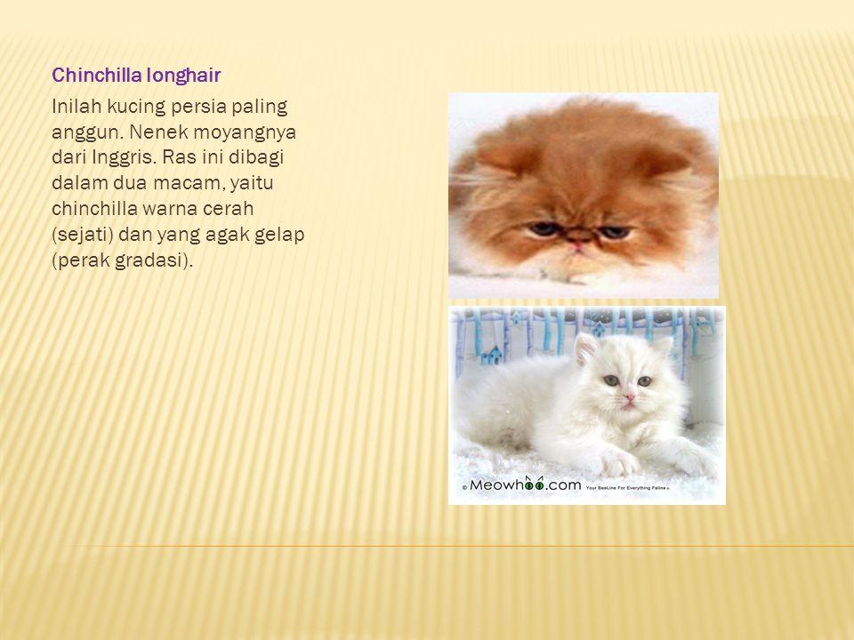 Chinchilla longhair