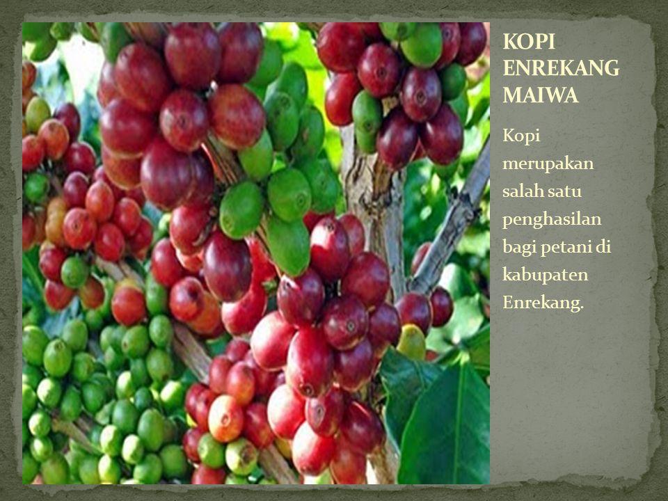 KOPI ENREKANG MAIWA Kopi merupakan salah satu penghasilan bagi petani di kabupaten Enrekang.