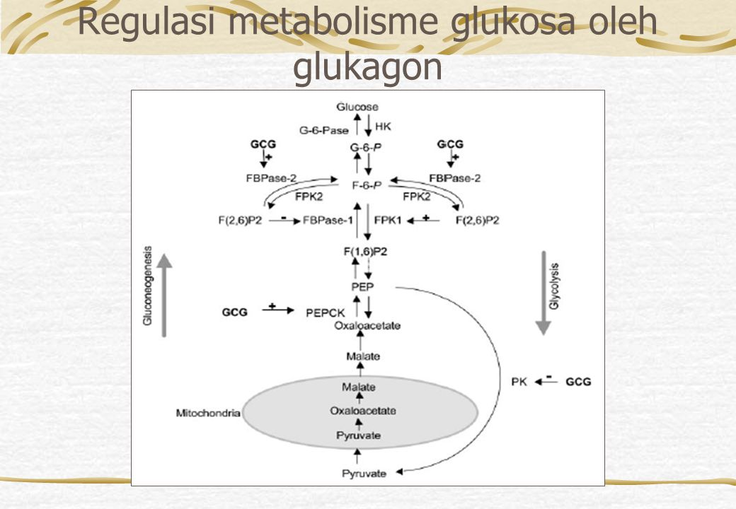 Regulasi metabolisme glukosa oleh glukagon