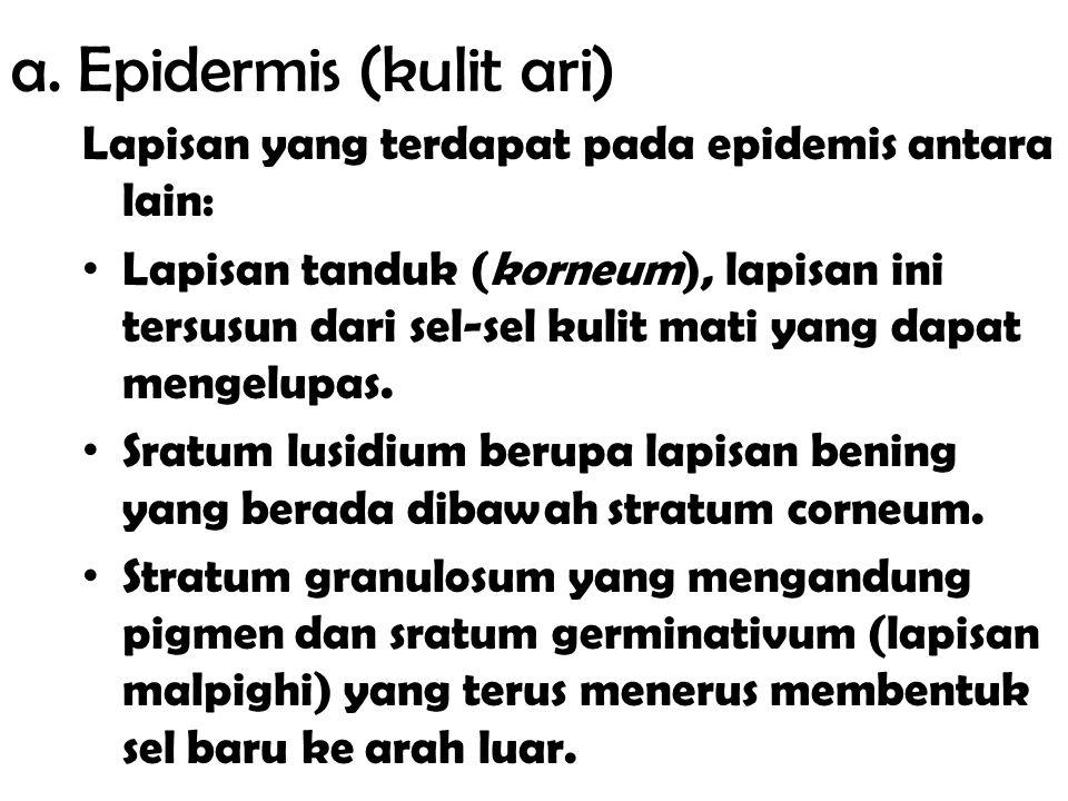a. Epidermis (kulit ari)