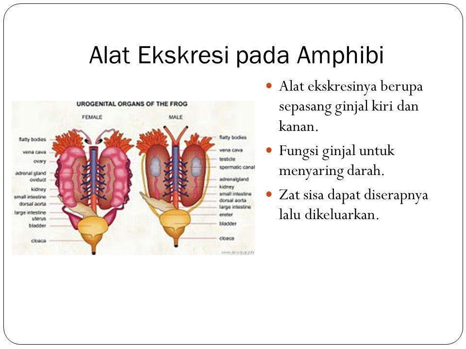 Alat Ekskresi pada Amphibi