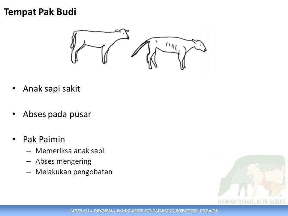 Tempat Pak Budi Anak sapi sakit Abses pada pusar Pak Paimin
