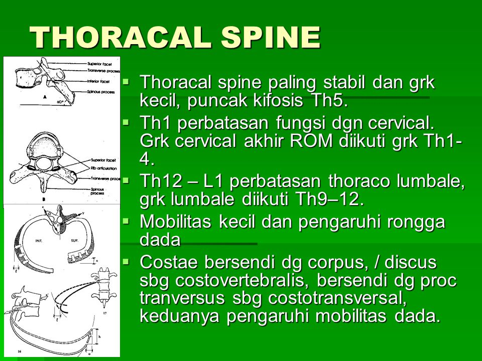 THORACAL SPINE Thoracal spine paling stabil dan grk kecil, puncak kifosis Th5.