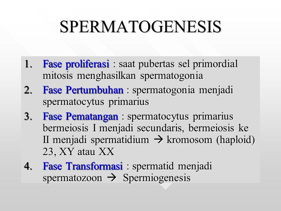 SPERMATOGENESIS Fase proliferasi : saat pubertas sel primordial mitosis menghasilkan spermatogonia.