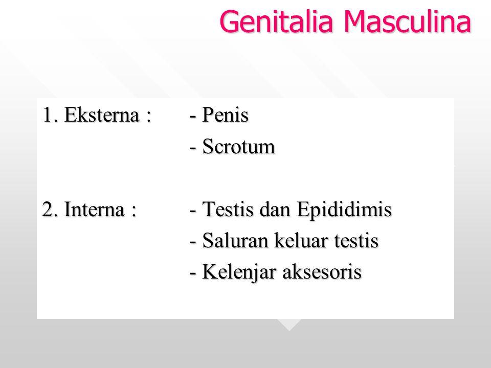 Genitalia Masculina 1. Eksterna : - Penis - Scrotum