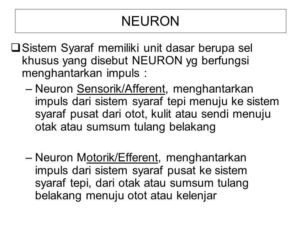 NEURON Sistem Syaraf memiliki unit dasar berupa sel khusus yang disebut NEURON yg berfungsi menghantarkan impuls :