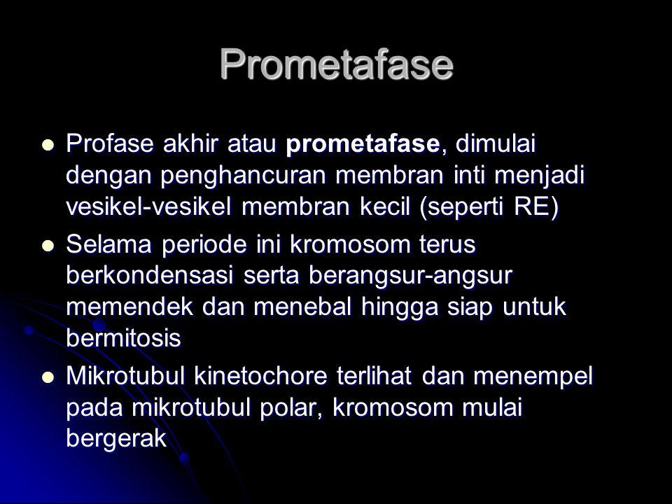 Prometafase Profase akhir atau prometafase, dimulai dengan penghancuran membran inti menjadi vesikel-vesikel membran kecil (seperti RE)
