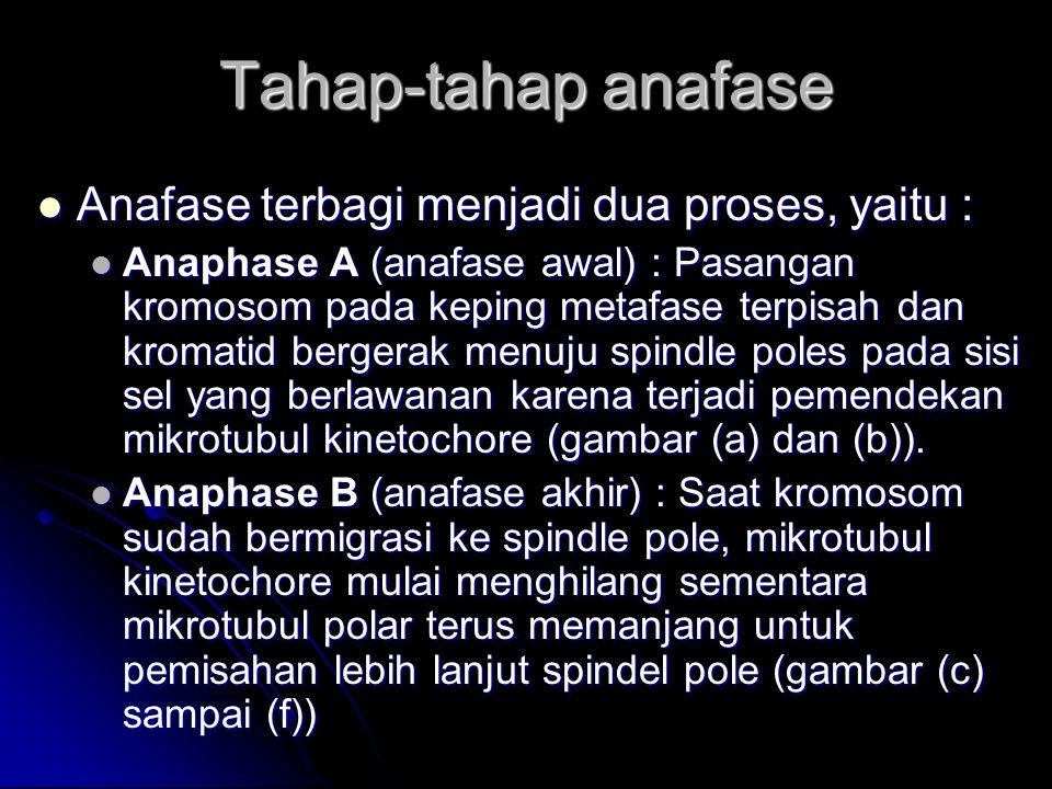 Tahap-tahap anafase Anafase terbagi menjadi dua proses, yaitu :