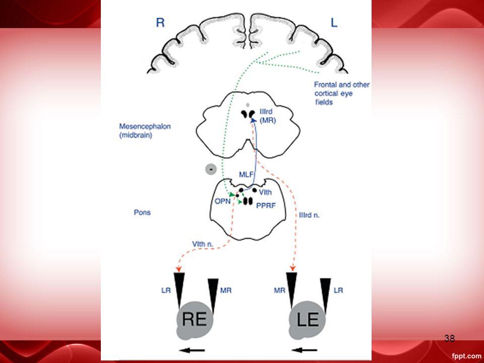 Jaras dari are tsb, menyilang pada level nucl okulomotorius dan trochelaris, inhibisi neuron omnipause, kmd mencapai kontralateal PPRF.