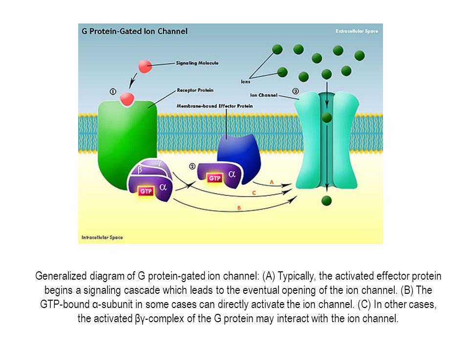 Generalized diagram of G protein-gated ion channel: (A) Typically, the activated effector protein begins a signaling cascade which leads to the eventual opening of the ion channel.