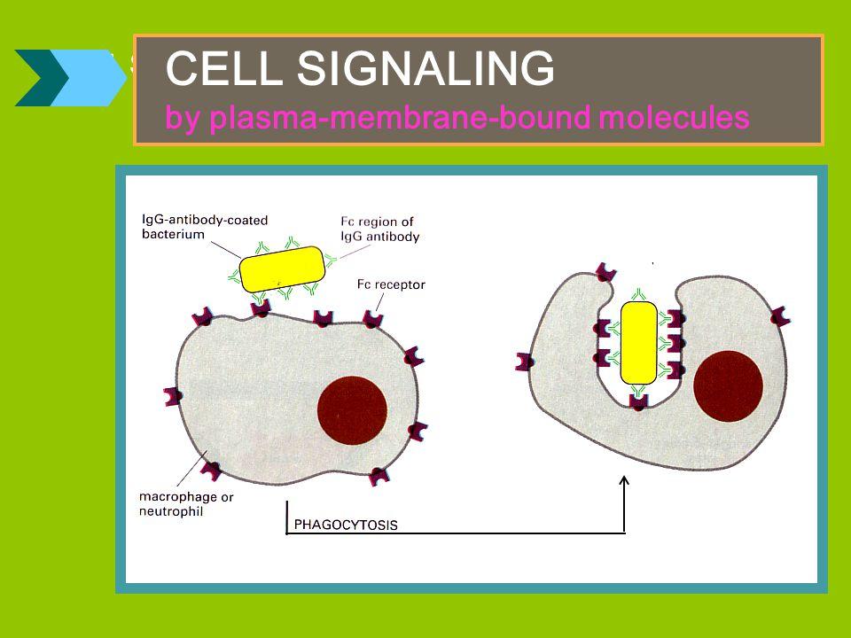 CELL SIGNALING : MEMBEDAKAN SELF DAN NON SELF
