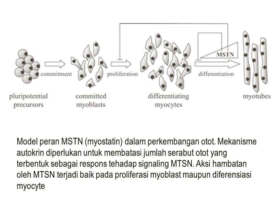Model peran MSTN (myostatin) dalam perkembangan otot