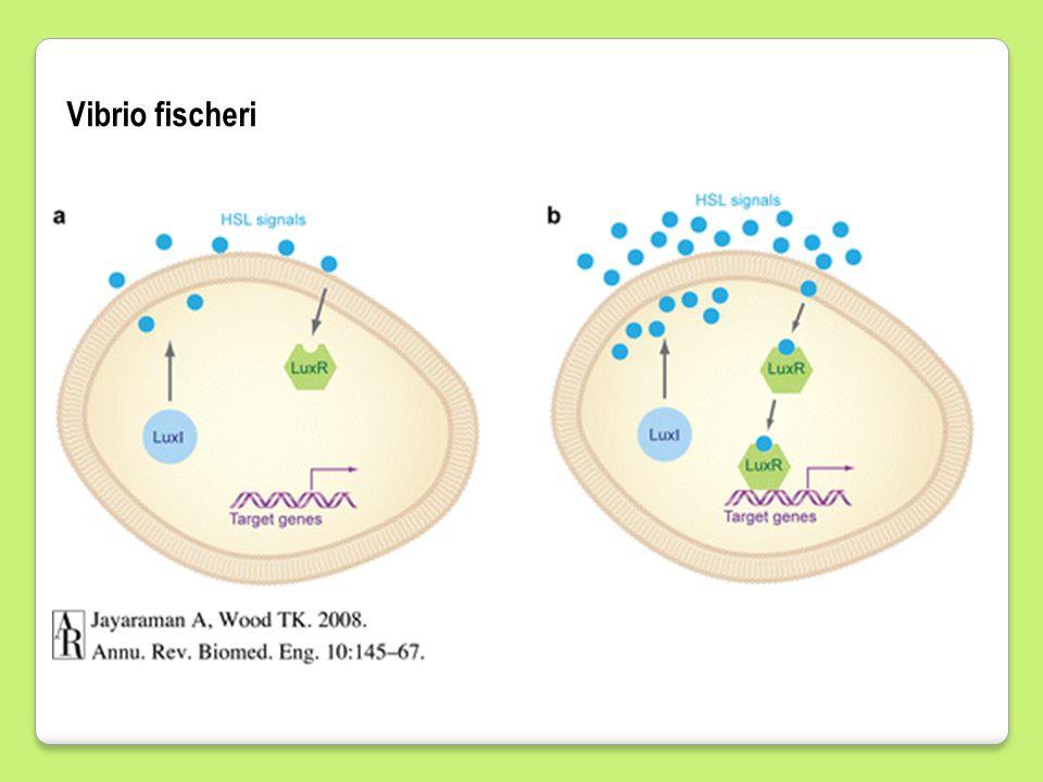 Biologi Sel-Bio FST 4/9/2017 Vibrio fischeri