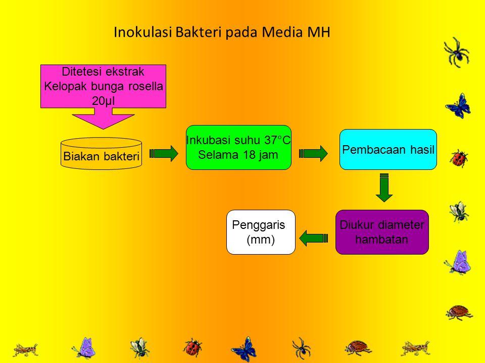 Inokulasi Bakteri pada Media MH
