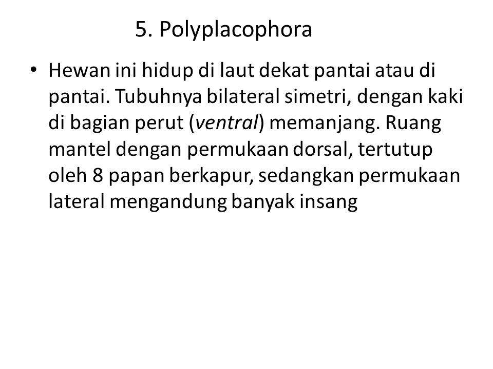 5. Polyplacophora