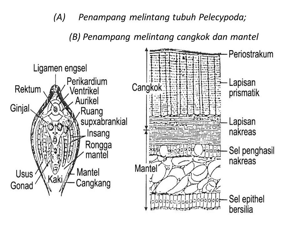 Penampang melintang tubuh Pelecypoda; (B) Penampang melintang cangkok dan mantel