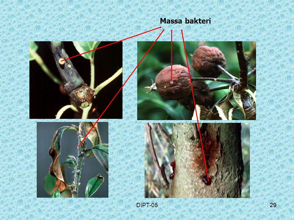 Massa bakteri DIPT-05 29